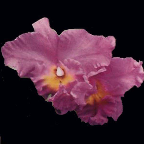 Kit com 4 Mudas de Orquídeas - 002