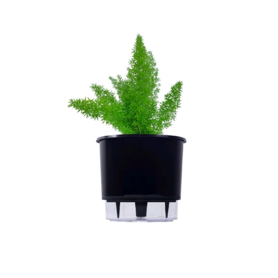 Kit Completo para plantio de Aspargo Real com vaso autoirrigável Médio Preto
