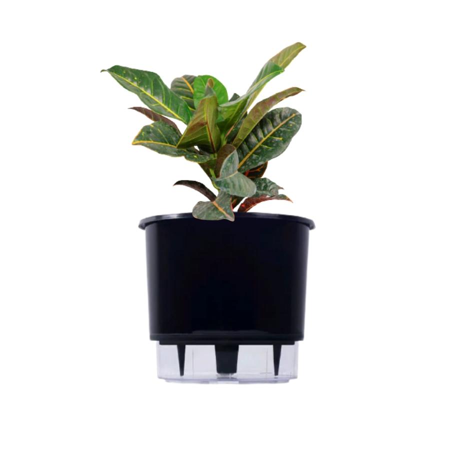 Kit Completo para plantio de Cróton com vaso autoirrigável Grande Preto