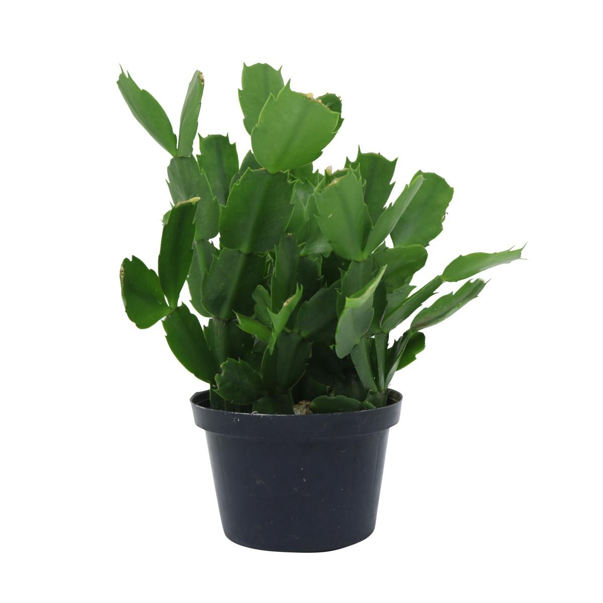 Kit Completo para plantio de Flor de Maio com vaso autoirrigável Médio Preto