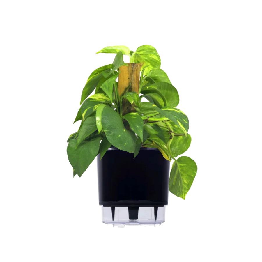 Kit Completo para plantio de Jiboia com vaso autoirrigável Grande Preto