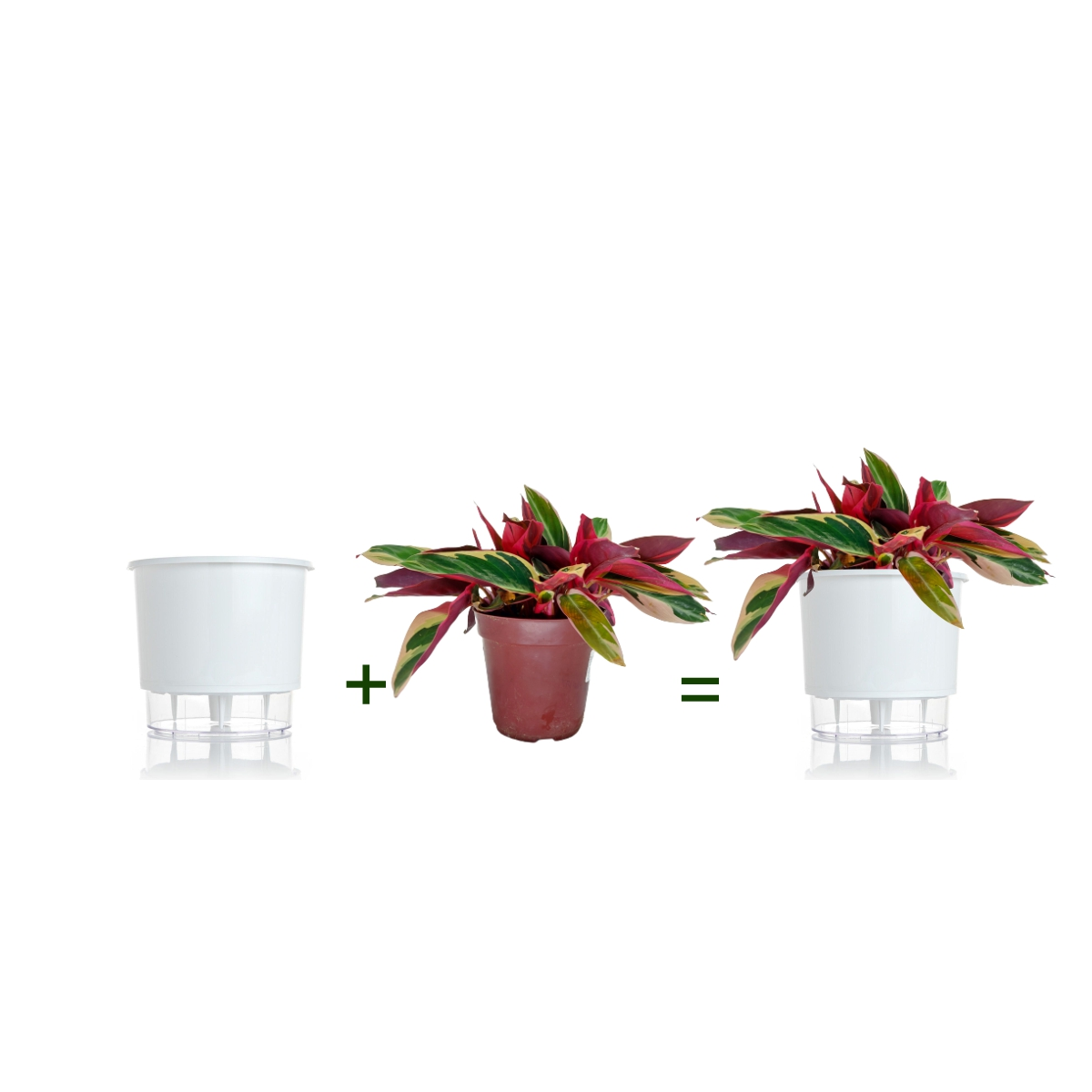 Kit Completo para plantio de Maranta Calathea Triostar com vaso autoirrigável Médio Branco