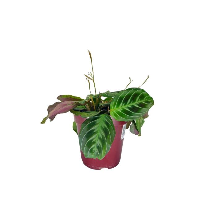 Kit Completo para plantio de Maranta ou Calathea Leuconeura com vaso autoirrigável Médio Branco