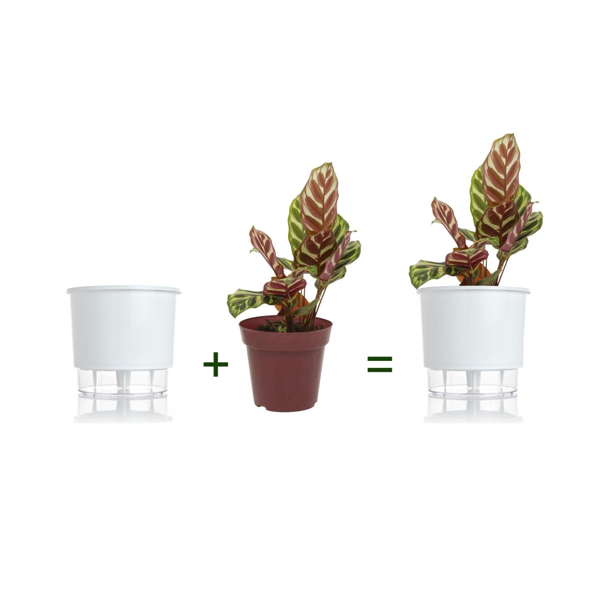 Kit Completo para plantio de Maranta Pavão ou Calathea Makoyana com vaso autoirrigável Médio Branco