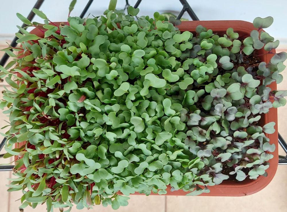 Kit completo para plantio de Microverdes 3 variedades