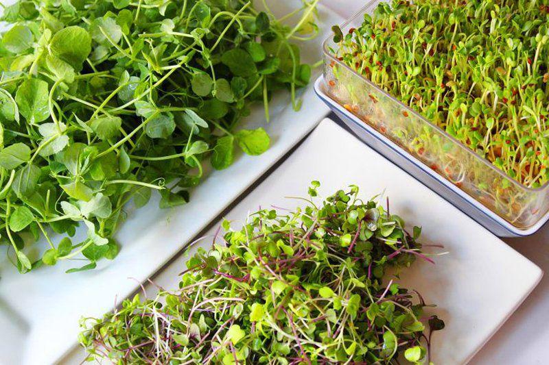 Kit completo para plantio dos Microverdes - Experimente 12 variedades