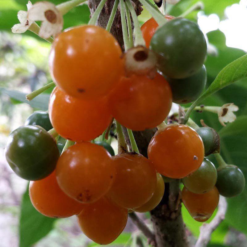 Kit Meu Pé de Fruta do Sabiá com Vaso 28 litros