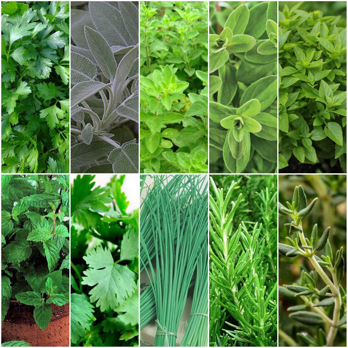 Kit Sementes de Temperos 10 variedades Topseed Garden