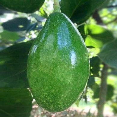 Muda de Abacate Geada feita de semente