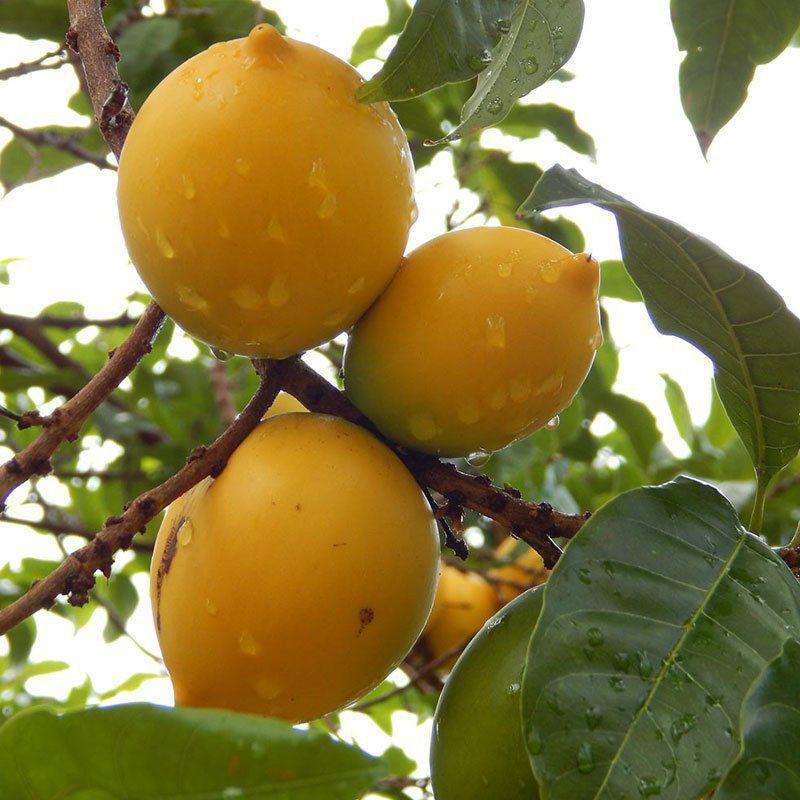 Muda de Abiu Amarelo feita de semente