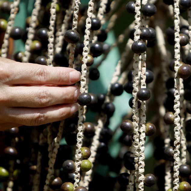 Muda de Açaí feita de semente