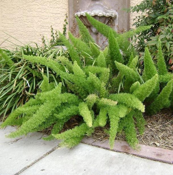 Muda de Aspargo Real Asparagus densiflorus feita de semente - FC