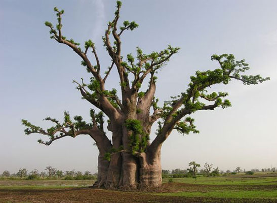 Muda de Baobá Adansonia digitata feita de semente - FC