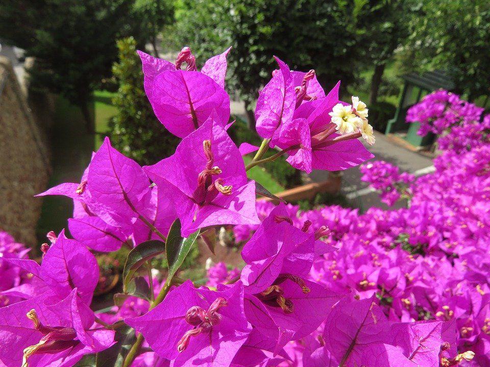 Muda de Primavera Bougainvillea spectabilis cores sortidas