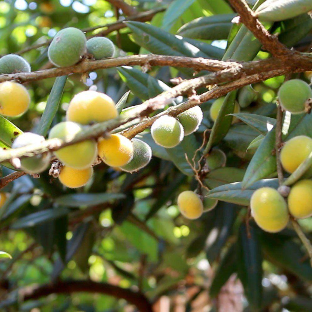 Muda de Cabeludinha ou Jabuticaba Amarela feita de semente