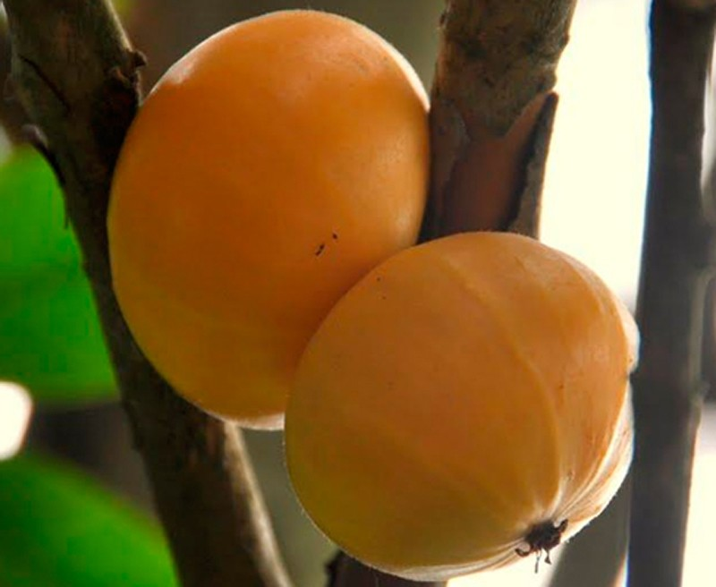 Muda de Cambucá Marlierea edulis feita de semente - FC