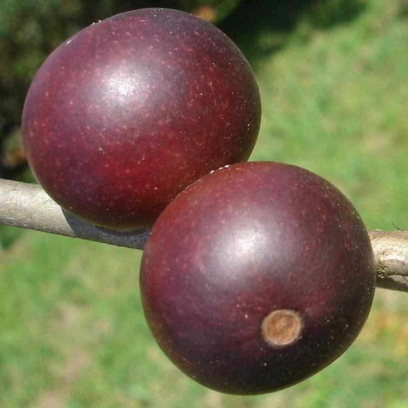 Muda de Camu Camu feita de semente