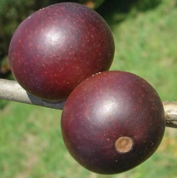 Muda de Camu Camu Myrciaria dubia feita de semente - FC