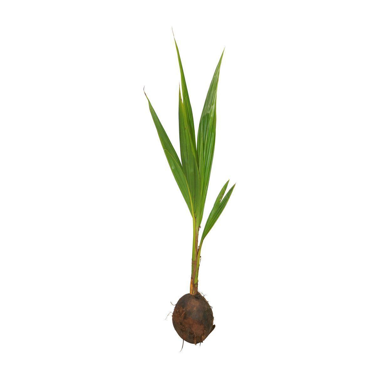 Muda de Coco feita por semente