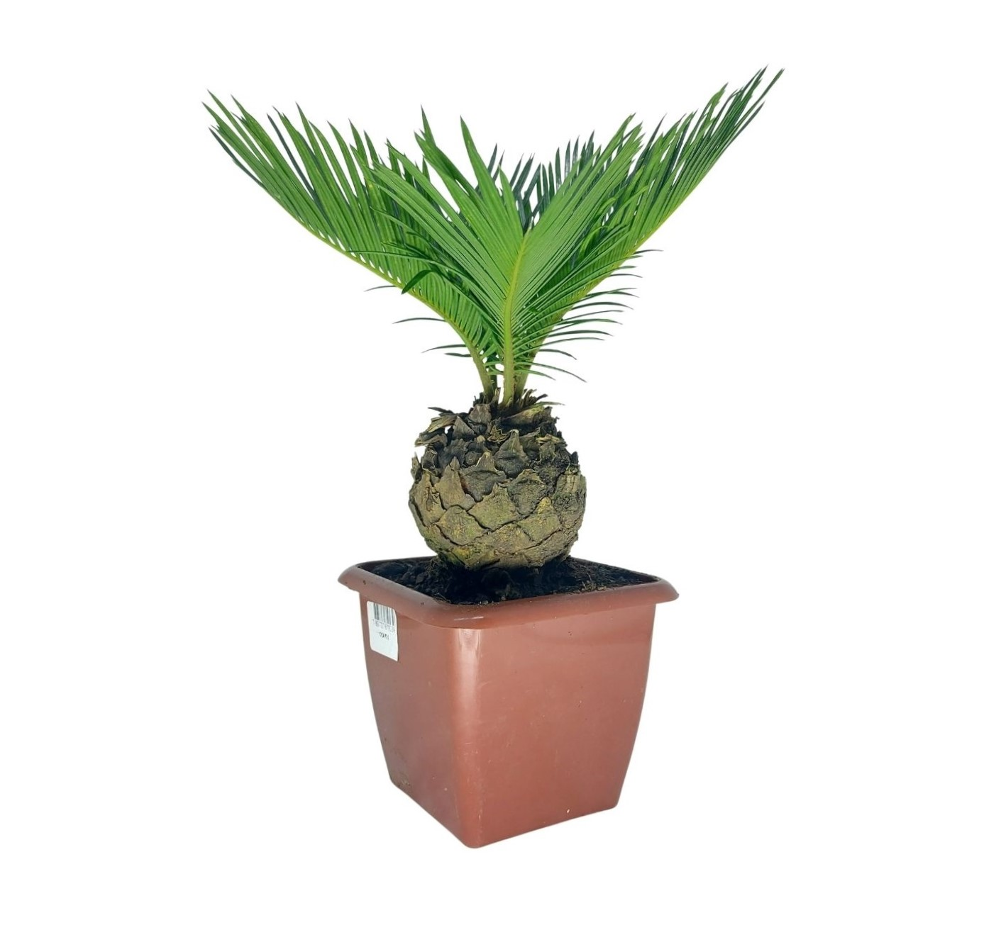 Muda de Palmeira Cica Revoluta pote 12