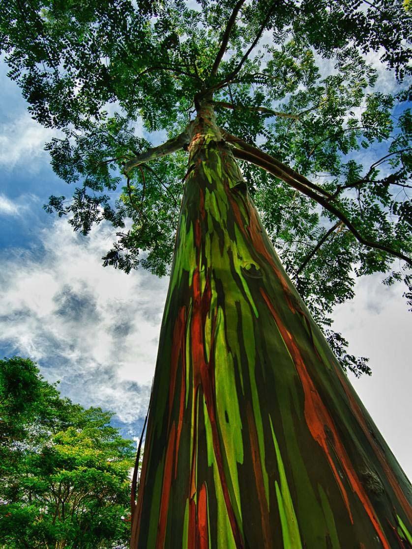 Muda de Eucalipto Arco-Íris feita de semente - FC