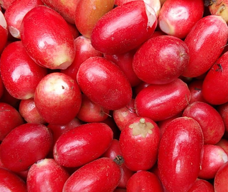 Muda de Fruta do Milagre feita de semente - FC