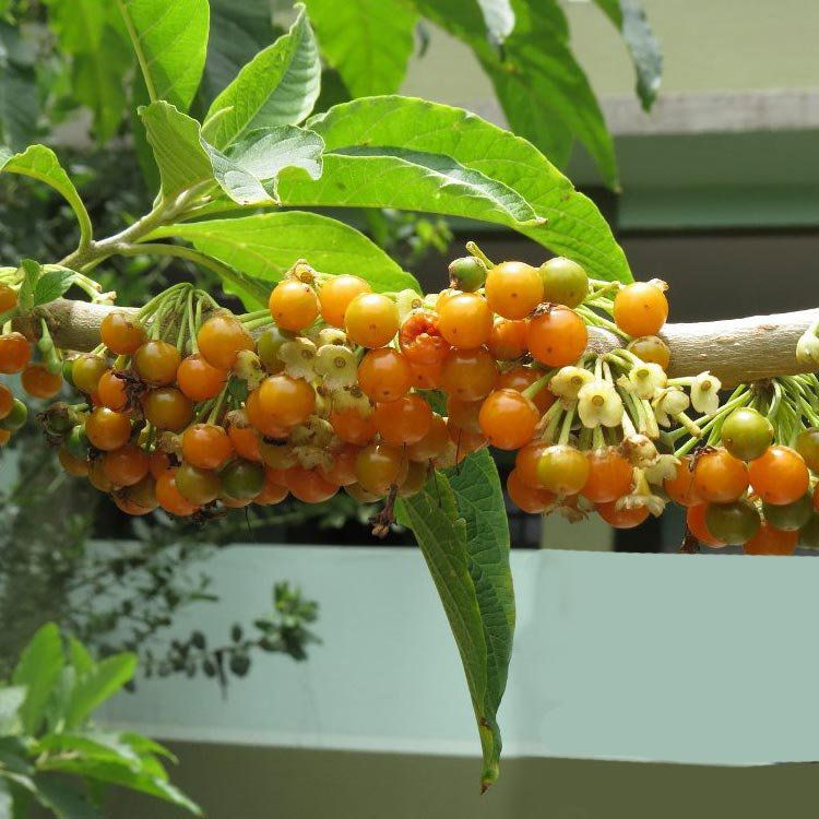 Muda de Fruta do Sabiá feita por estaca