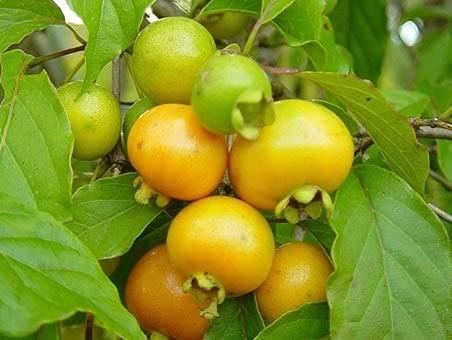 Muda de Grumixama Amarela Eugenia brasiliensis feita de semente - FC