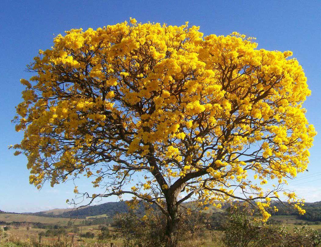 Muda de Ipê Amarelo feita de semente
