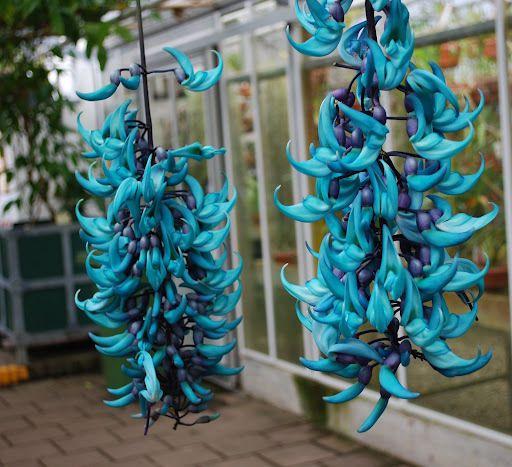 Muda de Jade Azul feita de estaca