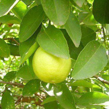 Muda de Limão Galego feita de enxerto