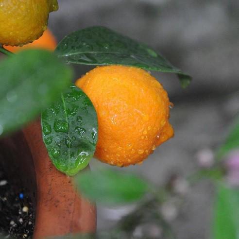 Muda de Limão Rosa feita de enxerto