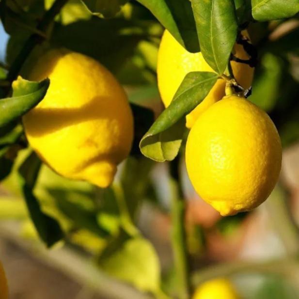 Muda de Limão Siciliano feita por enxerto