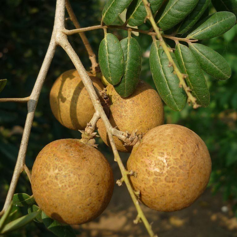 Muda de Longan Gigante do Hawaii (Fruta Olho de Dragão) feita de alporque