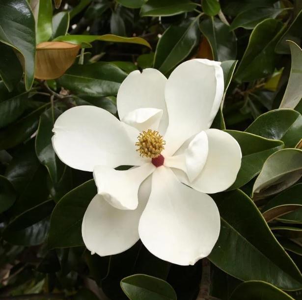 Muda de Magnólia Branca Magnolia grandiflora feita de semente - FC