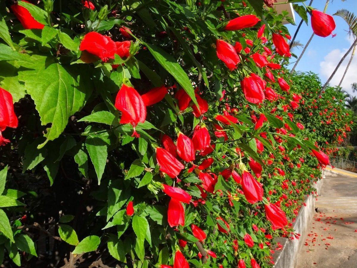Muda de Hibisco Colibri Malvaviscus arboreus Vermelho 30cm
