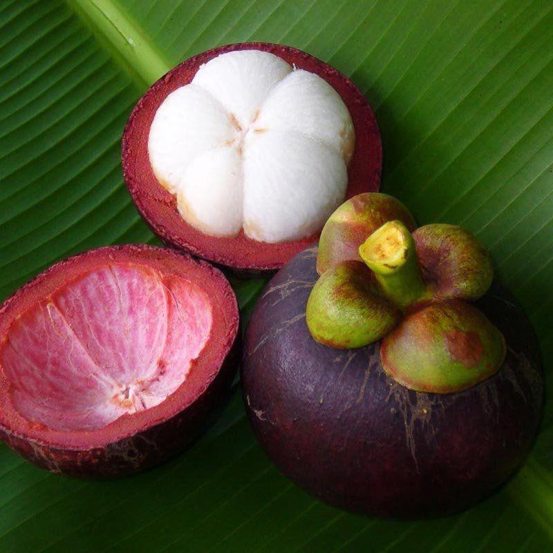 Muda de Mangostin feita de semente