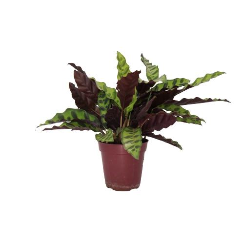 Muda de Maranta Cascavel ou Calathea Lancifolia pote 12
