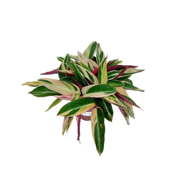 Muda de Maranta Tricolor ou Calathea Triostar pote 12 Trialstar