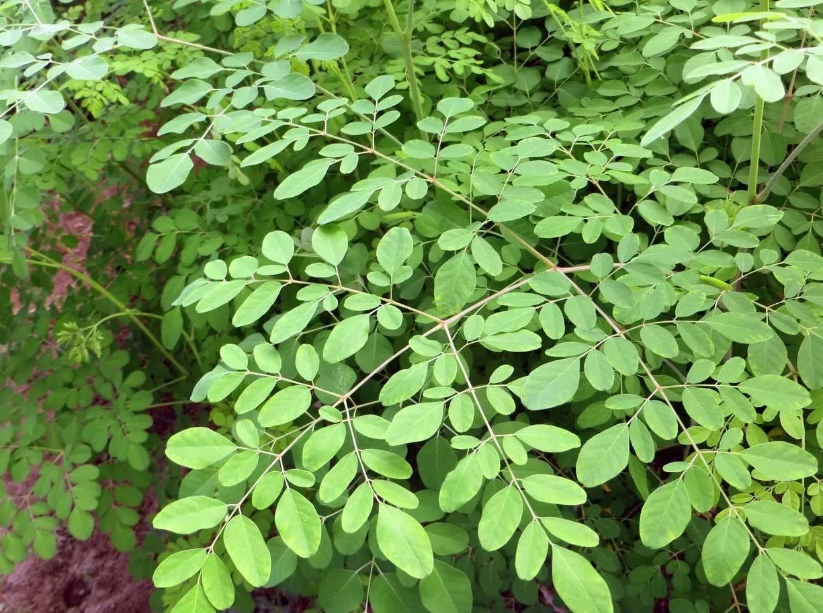 Muda de Moringa oliefera feita de semente - FC