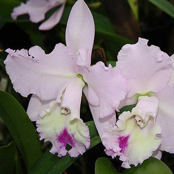 Muda de Orquídea Blc Chief Pink Diana 914-PA