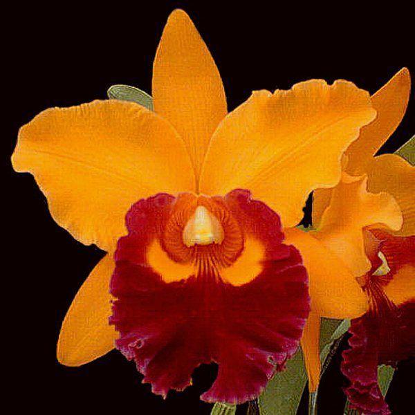 Muda de Orquídea Blc Chunyeah Moon Beauty 919-PA