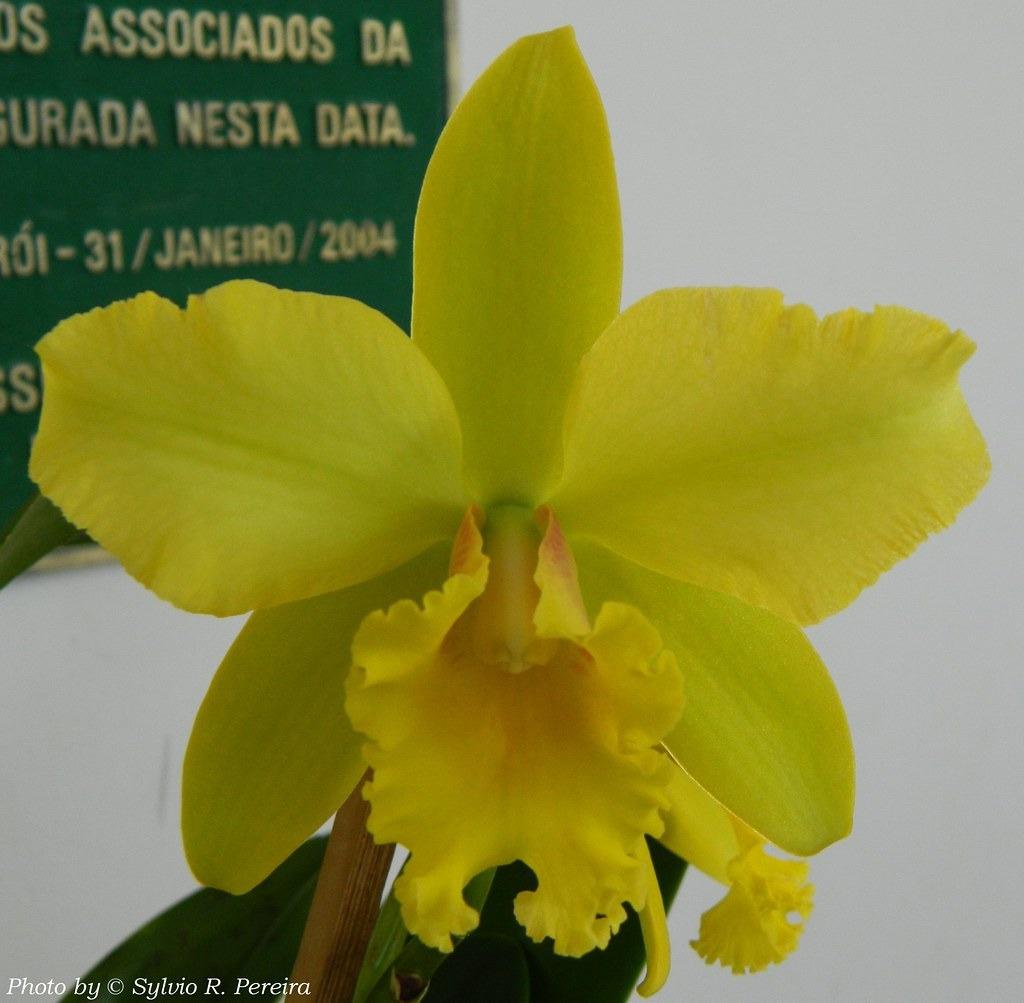 Muda de Orquídea Blc Clear Water Gold 141