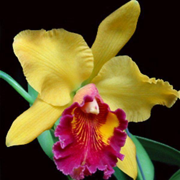 Muda de Orquídea Blc Color Magic Mendenhall 092-PA