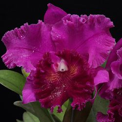 Muda de Orquídea Blc Erica Porto x Blc Mem Crispin Rosales Rolf x Lc Joao Antonio Nicole Velvet 8209-1