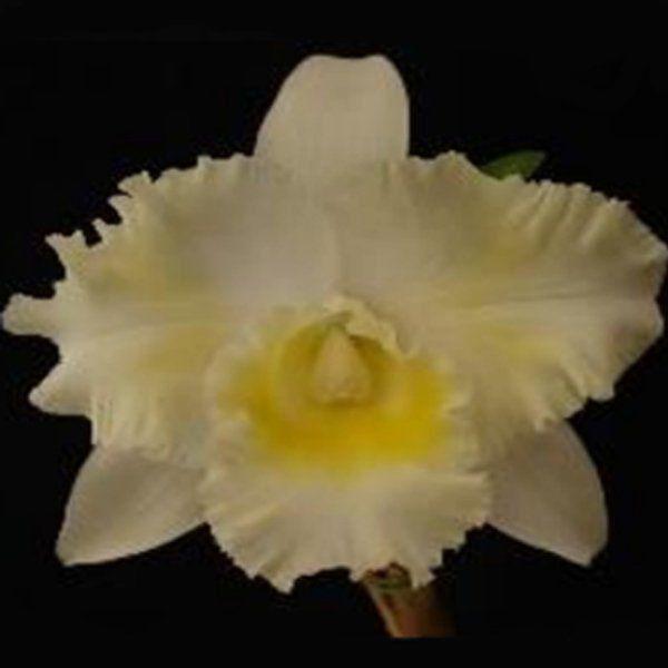 Muda de Orquídea Blc Island Chayn Blumen Insel 087-PA
