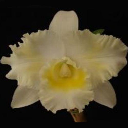 Muda de Orquídea Blc Island Chayn Blumen Insel 87-3