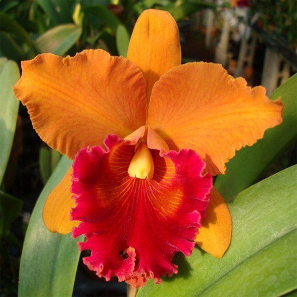 Muda de Orquídea Blc Linda Fisk Casey 903-PA