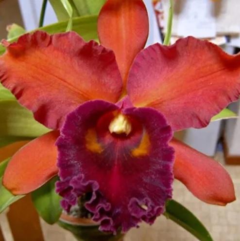 Muda de Orquídea Blc Oconee Mendenhall x Blc Eve Marie Barnett Magnificent Watermelon Gold 8155-2