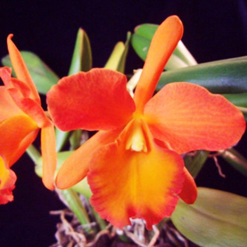 Muda de Orquídea Blc Owen Holmes Ponkan AM/AOS X Blc Orange Show Cloud Forest x Blc Gorgeous Gold Poka - 8162-3